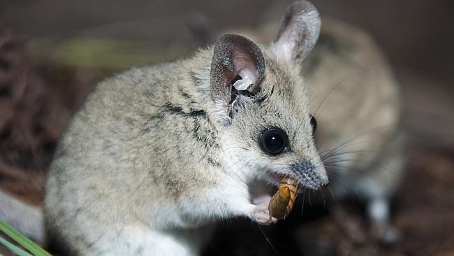 Small like a mouse, the fat-tailed dunnart. Picture: Suppied
