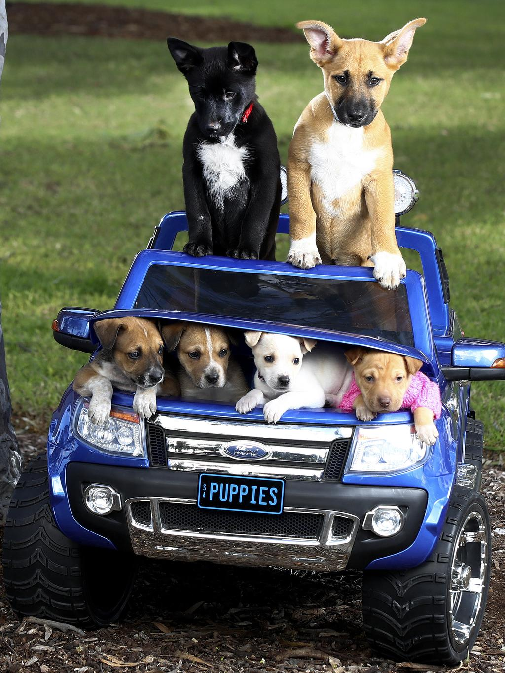 "These precious puppies have embarked on the biggest journey of their lives, travelling the long road from Coober Pedy to Adelaide in the hope of finding their ""forever homes"". The puppies are pictured in a toy car supplied by local company, Ride on Toys Australia. Picture: Sarah Reed"