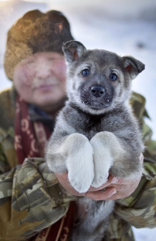 An East Siberian Laika puppy is held up by its owner.