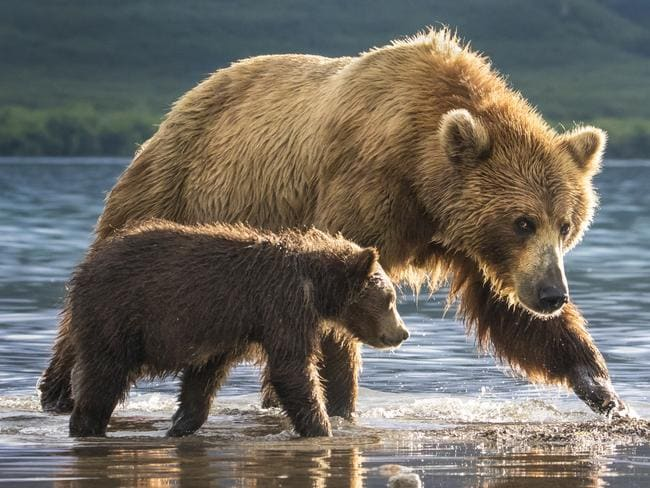 Photo by Anat Gutman / National Geographic Nature Photographer of the Year contest A mother bear and a cub  The 3 months cub was so cute I almost dropped the camera and run to hug him. almost :) Mother bear (huge female) was looking at me suspiciously.