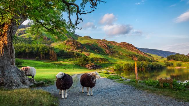 Curious sheep at sunset in the Lake District, England.