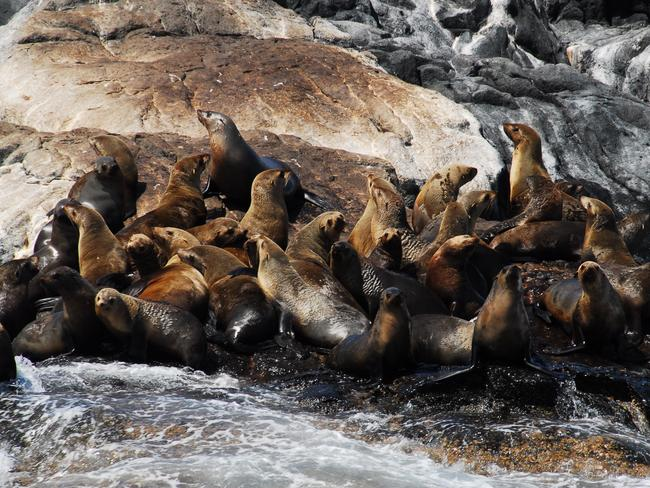 Two seal species - Australian fur seals and New Zealand fur seals - call Montague Island home. Picture: Environment and Heritage NSW