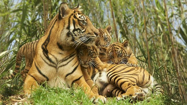 Mogo's tigers cubs are the key to survival of species ...