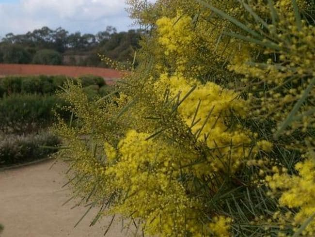 Wattle is always a sure sign spring is on the way. Picture: Tim Entwisle Twitter
