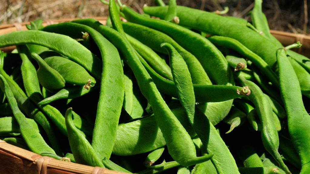 Top crop: Once they get going, beans will provide an almost-daily bounty.