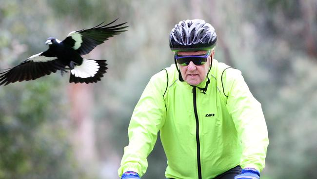 A magpie swoops a cyclist in Ferntree Gully.