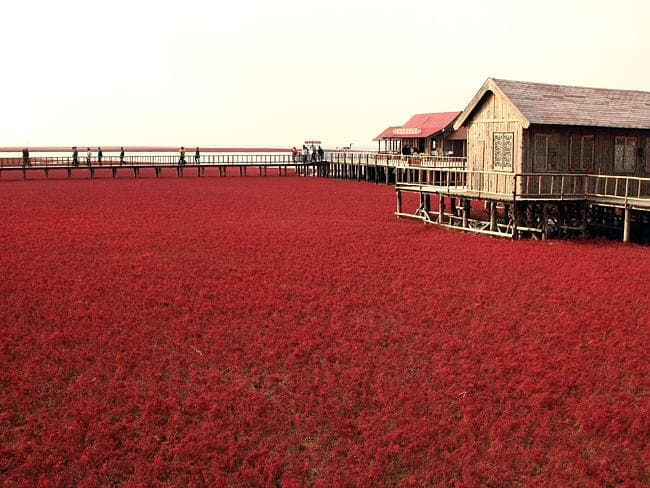 A large area of seepweed is seen at Red Beach. Picture: Zhu Wanchang/ChinaFotoPress