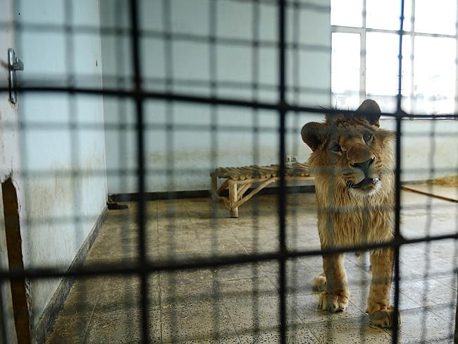 Male lion Marjan looks out from his cage in Afghanistan's Kabul Zoo in Kabul.
