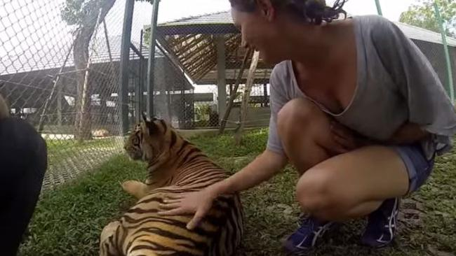 Would you? ... A tourist pats one of the many tigers at Tiger Kingdom in Phuket, Thailand. Picture: Trip Advisor