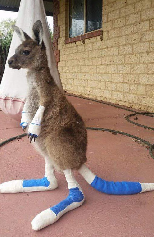 The 11-month-old joey has melted hearts across the country. Picture: Facebook/Waroona Vet Clinic.
