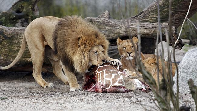 Shocking end ... the carcass of Marius, a male giraffe, eaten by lions after he was shot at Copenhagen Zoo Picture: AP