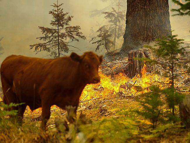 A cow passes a flare-up of the Rim Fire near the Yosemite National Park border in Groveland, California. Picture: EPA