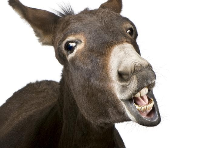 Donkey in front of a white background. Generic image.