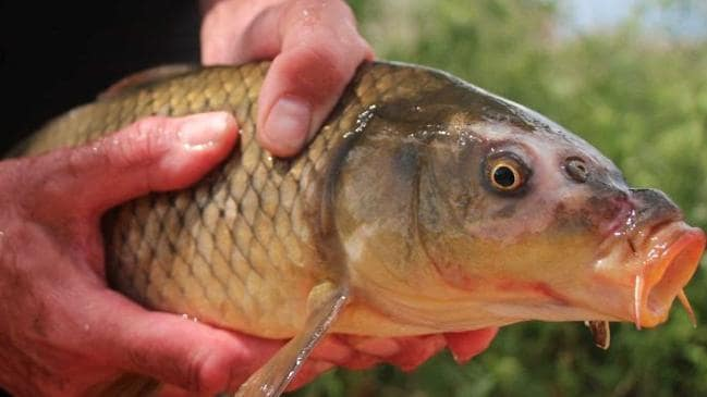 Fishers fear release of herpes virus to kill River Murray's European carp will devastate the industry