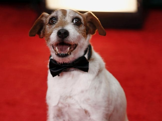 """Uggie, the dog, from the film """"The Artist"""" arrives at the 69th Annual Golden Globe Awards. Picture: AP"""