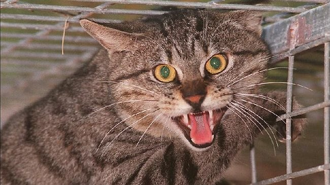 I tawt I taw an evil kitty. I diiid, and they all belong in cages like this guy. Image: Paul Hutton