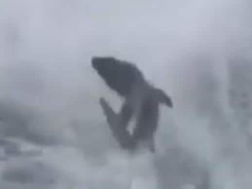 Shark dragged at high speeds behind boat