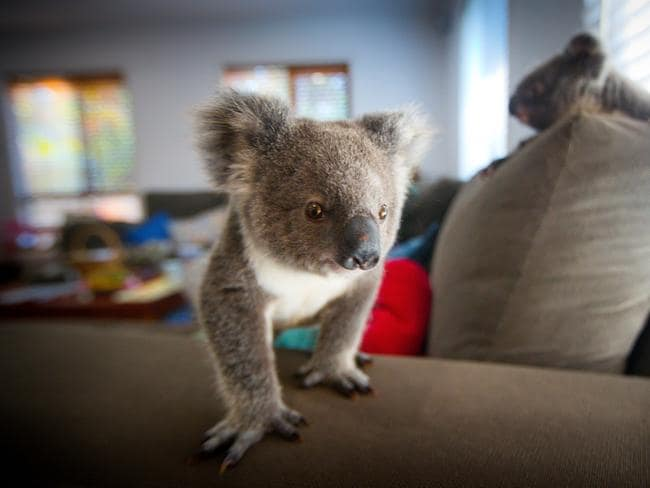 Orphan koala joeys at a carer's home. They were displaced by tree-clearing.
