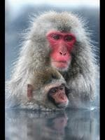 A Japanese macaque monkey with her baby enjoys sitting in the hot springs at Jigokudani-Onsen (Hell Valley) in Jigokudani, Nagano-Prefecture, Japan. Japanese Macaques, also known as snow monkeys are the most northerly nonhuman primate in the world. In 1963 a female Macaque ventured into the hot springs to retrieve some soybeans. This behaviour was adopted by other monkeys, and eventually by the entire troop. This Macaque troop regularly visits the Jigokudani-Onsen springs to escape the cold. The hot springs are said to help relieve nerve pain and fatigue. Picture: Getty