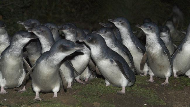 Montague Island is home to about 10,000 little penguins. Picture: Environment and Heritage NSW