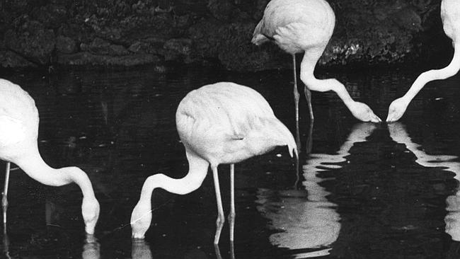 Adelaide Zoo Flamingos, 'Greater' the flamingo among them, late evening, March 4, 1953. Photo: The Advertiser