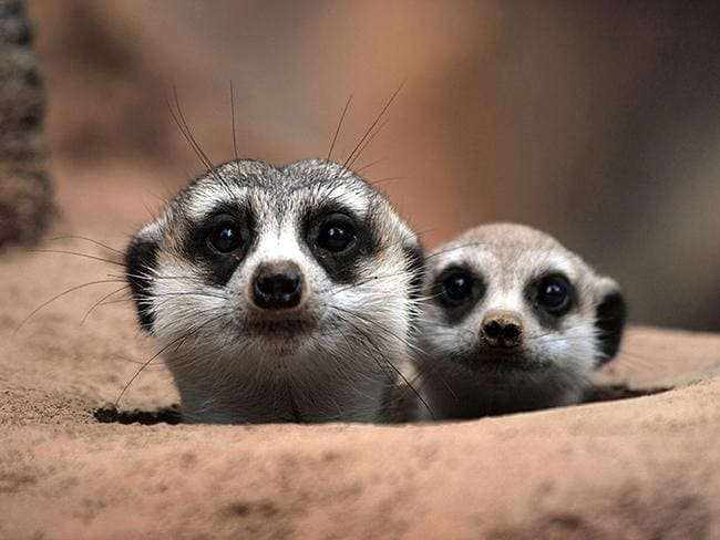 Theaw meerkats playing peek a boo with the photographer. Picture: Picture Media