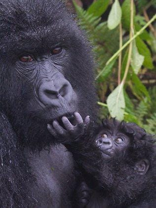Up close: A mountain gorilla and her baby in the Volcanoes National Park in Rawanda. Picture: Mark Virgin.
