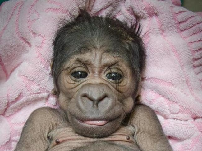 Look at those lashes ... this little gorilla weighed just 1.8kg when she was born on August 16.