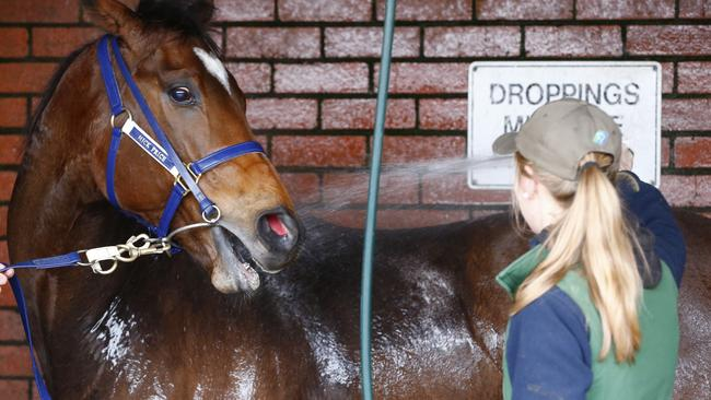 Lankan Rupee enjoys a wash down after trialling. Picture: Michael Klein