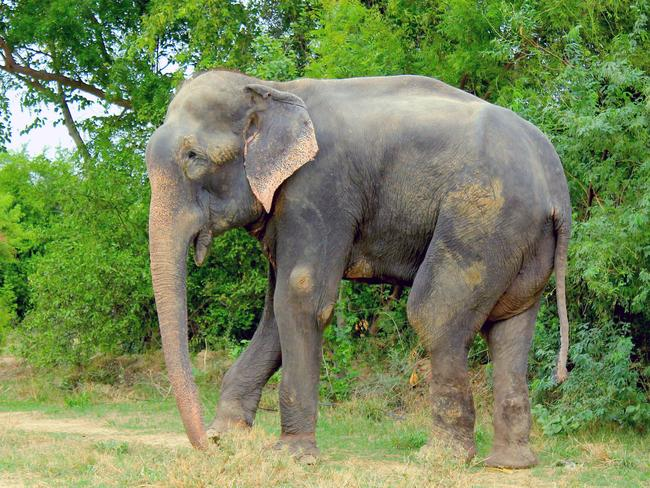 Raju takes his first steps to freedom after 50-years in chains. Picture: Press People/Wildlife SOS