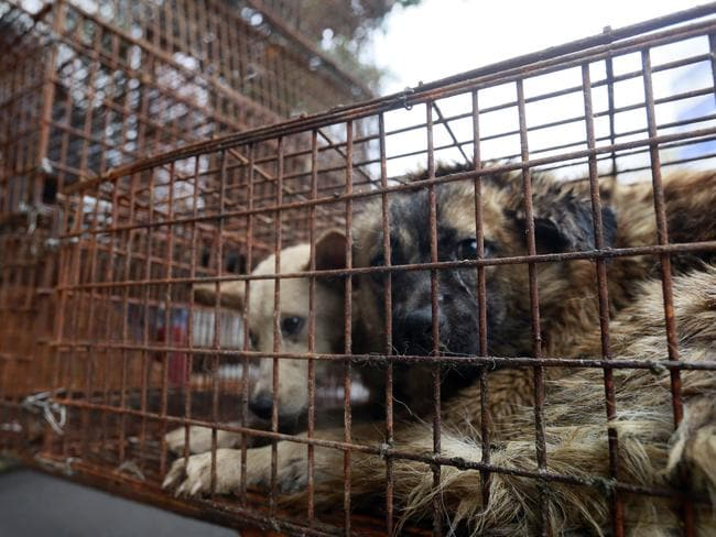 Campaigns to end trade ... The dog meat trade is in decline but there are still some slaughterhouses in operation in China. Picture: AP Images for Humane Society International