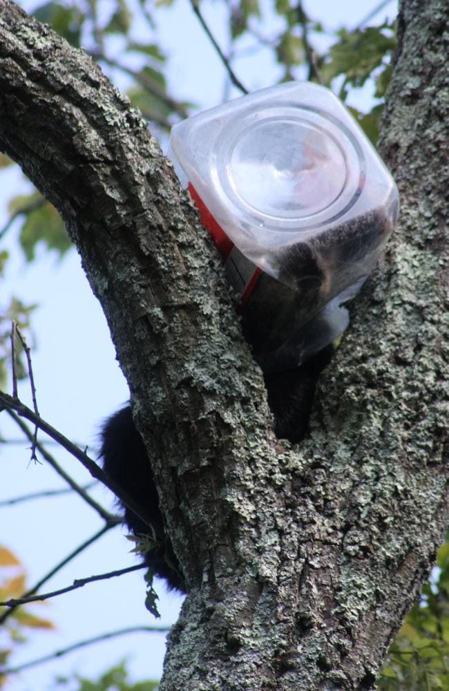 See what happens when you chuck away your rubbish ... a bear cub's head stuck in an oversized cookie jar.