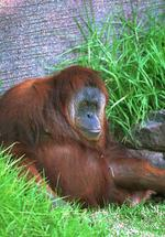 Karta the orang utan sparked panic at an Adelaide Zoo when it short-circuited electrical wires and climbed a fence in a daring zoo escape attempt.