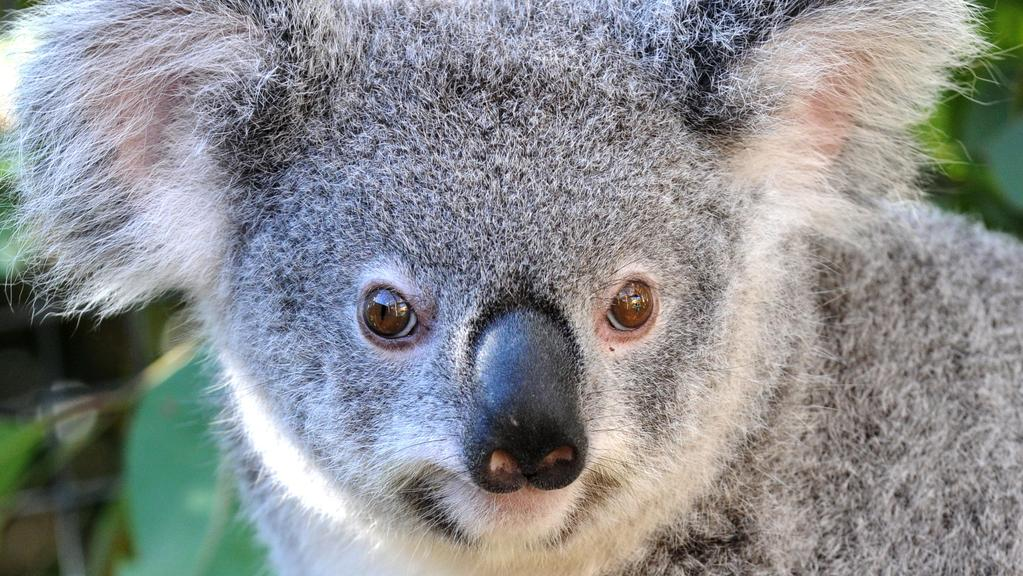 Koalas, cats and wombats among animals used for testing in ...
