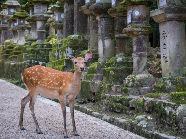 Nara, Japan - August 6, 2015: One Deer (animal) in the city of Nara Japan. The deer is standing in front of  stone laterns and looks cute.