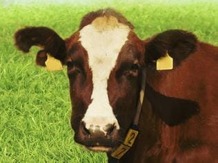 Cow relaxing on grass PERSONAL OZ Picture: Thinkstock