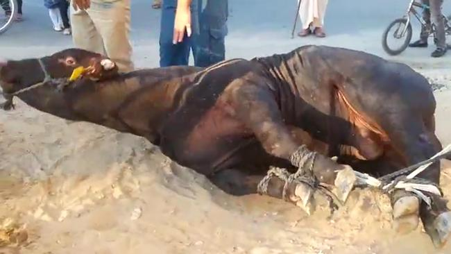 The footage shows animals tied up on the ground.