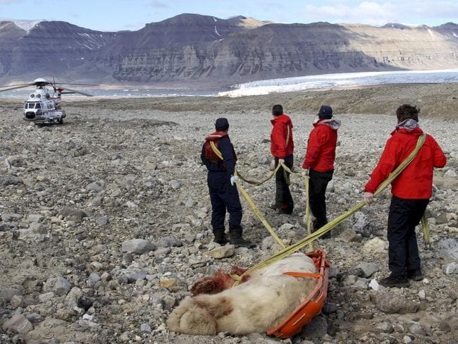 Shot down ... authorities remove the carcass of the polar bear at the Von Postbreen glacier in Tempelfjorden on August 5, 2011. Picture: AFP/Sysselmannen/Arild Lyssand