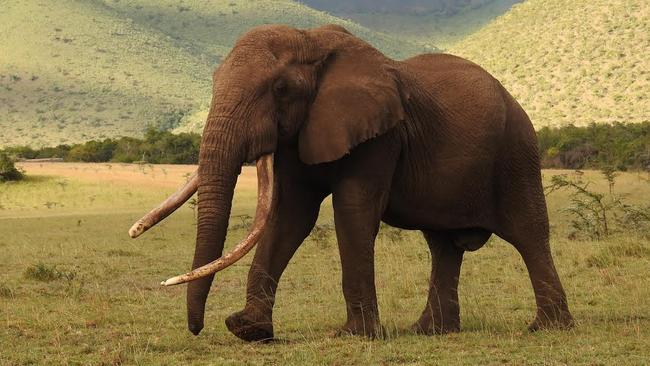 """One Ton is one of Africa's last remaining """"big tuskers."""" Picture: Craig Millar/Big Life Foundation"""
