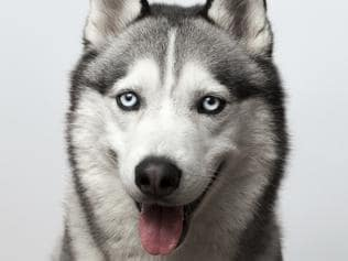 Adorable black and white with blue eyes Husky. on grey