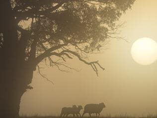 An ewe leads her lambs through the fog on a farm just before Mansfield. Sheep, weather, cold.