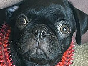Story of stolen pug Egg was 'false'