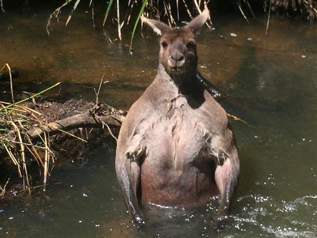This 'buff' red kangaroo was snapped at Margaret River last year. Picture: Caters News