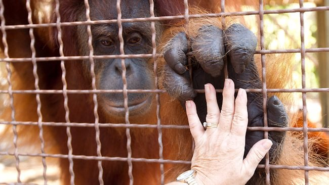 Experts who work with primates have been using sign language and other methods to communicate with apes for years. Picture: AP