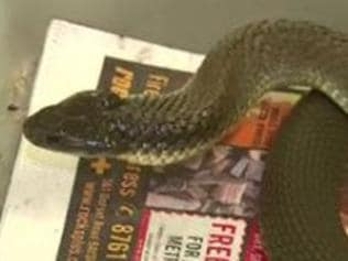 Worker lucky to dodge deadly tiger snake