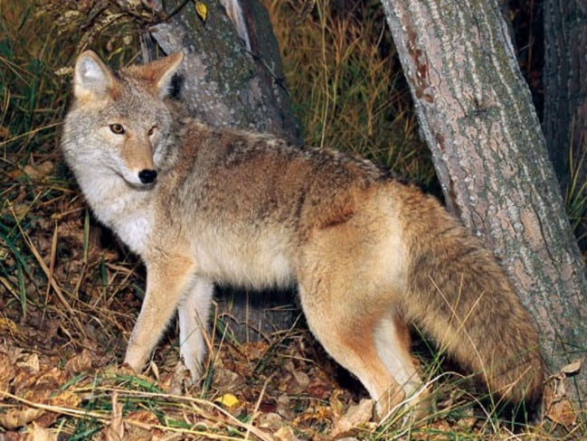 Coyotes are common throughout Illinois and are typically nocturnal.