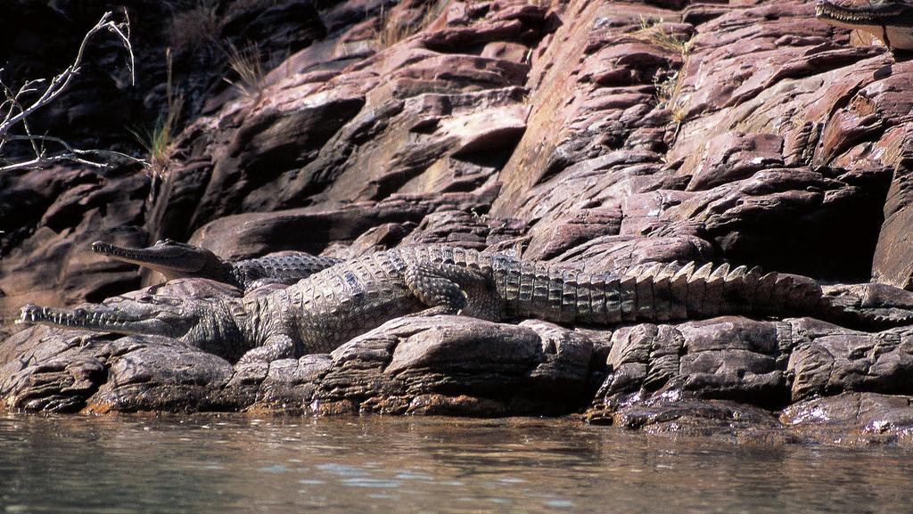 Johnny Bonde slipped and fell as he was trying to get a picture of a freshwater crocodile at Lake Kununurra.
