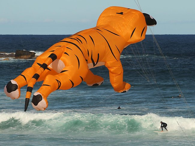 A surfer enjoys ths view as a giant tiger kite soars above Bondi Beach during Festival of the Winds. Australia's largest kite flying festival.