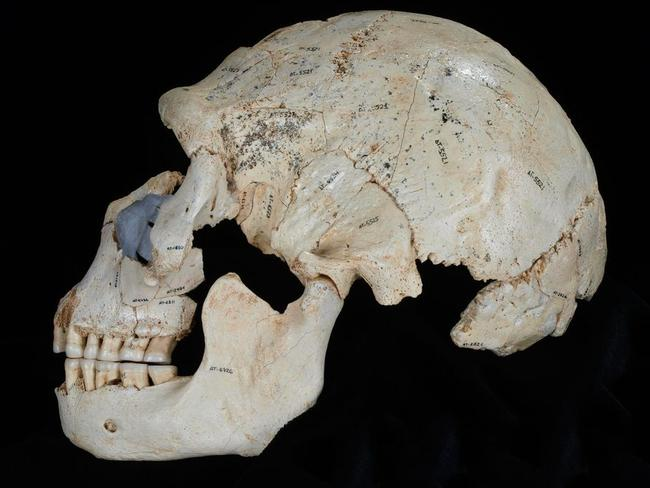 Game of bones ... this nearly complete skull displays Neanderthal facial bones. Picture: Madrid Scientific Films
