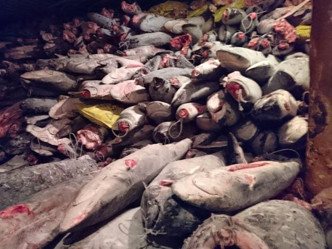 Frozen fish in a Chinese ship confiscated by the Navy in the waters of the Galapagos marine reserve. Picture: Environment Ministry of Ecuador